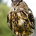 Eurasian Eagle Owl On Log by David Head