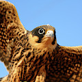 Eurasian Hobby Falco Subbuteo In by David Santiago Garcia
