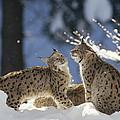 Eurasian Lynx Pair Bayerischer Wald Np by Konrad Wothe