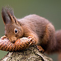 Eurasian Red Squirrel Biting Cone by Ingo Arndt