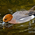 Eurasian Wigeon Feeding by Anthony Mercieca