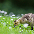 Europe, Germany, Bavaria, Canada Goose by Westend61