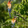 European Bee-eater by Jivko Nakev