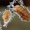 European Beech Leaves With Frost by Thomas Marent