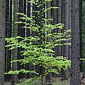 European Beech Tree In Noway Spruce by Duncan Usher