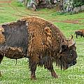 European Bison 4 by Arterra Picture Library
