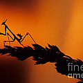 European Devil Mantis by Francesco Tomasinelli