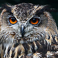 European Eagle Owl  by Nick  Biemans