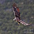 European Flying Sea Eagle 4 by Heiko Koehrer-Wagner