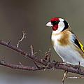 European Goldfinch  by Torbjorn Swenelius