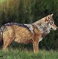 European Grey Wolf by David Stribbling