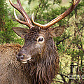 European Red Deer 1 by Valerie Johnson