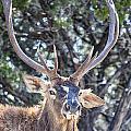 European Red Deer by Douglas Barnard