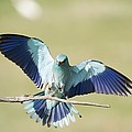 European Roller by Science Photo Library
