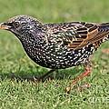 European Starling by Bildagentur-online
