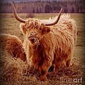 Even Cape Breton Cattle Have Character by John Malone