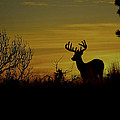 Evening Buck by Steve McKinzie
