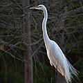 Evening Egret 2 Vertical by Photos By  Cassandra