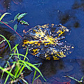 Evening Encloses The Aging Lily Pad by Mother Nature