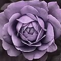 Evening Lavender Rose Flower by Jennie Marie Schell