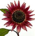 Evening Sun Sunflower 2 by Sharon Talson