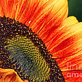 Evening Sun Sunflower by Sharon Talson