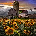 Evening Sunflowers by Debra and Dave Vanderlaan