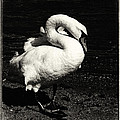 Evening Swan by Hakon Soreide