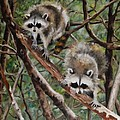 Everglade Babies by Karen Olson