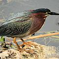 Everglades Green Heron by Adam Jewell