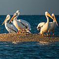 Everglades White Pelicans by Gloria Matyszyk