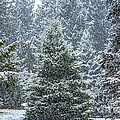 Evergreens In A Snowstorm 2 by Susan Cole Kelly