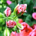 Everything's Coming Up Geraniums by Brooks Garten Hauschild