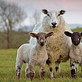 Ewe Two by Photograph Taken By Alan Hopps