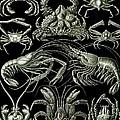 Examples Of Decapoda Kunstformen Der Natur by Ernst Haeckel