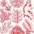 Examples Of Florideae From Kunstformen Der Natur by Ernst Haeckel