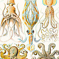 Examples Of Various Cephalopods by Ernst Haeckel