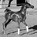 Exercising Horse Bw by C H Apperson