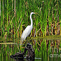 Exquisite Egret by Al Powell Photography USA