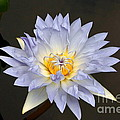 Exquisite Lavender Waterlily by Byron Varvarigos
