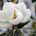 Exquisite Magnolia by Sabrina L Ryan