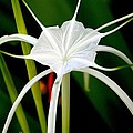 Exquisite Spider Lily by Laurel Talabere