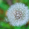 Extra Little Dandelion Wish by Terry DeLuco