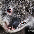 Eye Am Watching You - Koala by Kaye Menner