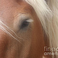 Eye Of A Belgian Horse by Smilin Eyes  Treasures