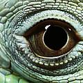 Eye Of A Common Iguana Iguana Iguana by David Davis