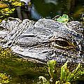Eye Of The Alligator by Ed Gleichman