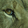 Eye Of The Lion by Ernie Echols