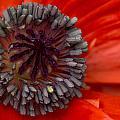 Eye Of The Poppy by Guy Shultz