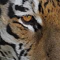 Eye Of The Tiger by Ernie Echols